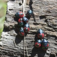 Choerocoris paganus (Ground shield bug) at Illilanga & Baroona - 13 Feb 2012 by Illilanga