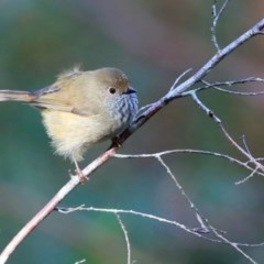 Acanthiza pusilla (Brown Thornbill) at Wairo Beach and Dolphin Point - 11 Jul 2016 by Charles Dove