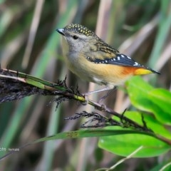 Pardalotus punctatus (Spotted Pardalote) at Red Head Villages Bushcare - 12 Jul 2016 by Charles Dove