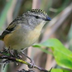 Pardalotus punctatus at Red Head Villages Bushcare - 13 Jul 2016
