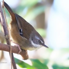 Sericornis frontalis (White-browed Scrubwren) at Red Head Villages Bushcare - 12 Jul 2016 by Charles Dove