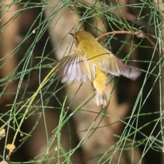 Acanthiza nana (Yellow Thornbill) at Undefined - 13 Jul 2016 by Charles Dove