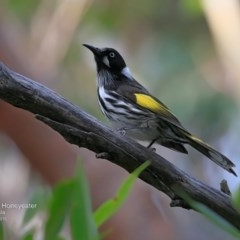 Phylidonyris novaehollandiae (New Holland Honeyeater) at South Pacific Heathland Reserve - 4 Jul 2016 by Charles Dove