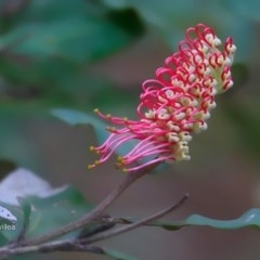 Grevillea macleayana (Jervis Bay grevillea) at South Pacific Heathland Reserve - 6 Jul 2016 by Charles Dove