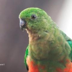 Alisterus scapularis (Australian King-parrot) at Lake Conjola, NSW - 27 Jan 2016 by Charles Dove