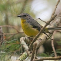 Eopsaltria australis (Eastern Yellow Robin) at Conjola Bushcare - 28 Jan 2016 by Charles Dove