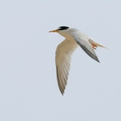 Sternula albifrons (Little Tern) at Narrawallee Creek Nature Reserve - 25 Jan 2016 by Charles Dove