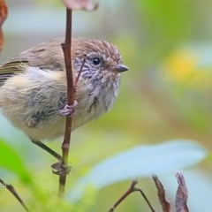 Acanthiza lineata (Striated Thornbill) at Meroo National Park - 24 Jan 2016 by Charles Dove
