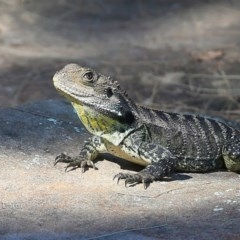 Intellagama lesueurii howittii (Gippsland Water Dragon) at Bomaderry Creek Walking Track - 19 Jan 2016 by Charles Dove