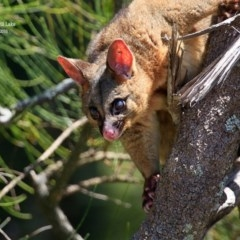 Phalangeridae (Brushtail Possums) at Wairo Beach and Dolphin Point - 17 Jan 2016 by Charles Dove