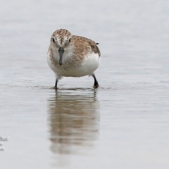Calidris (Ereunetes) ruficollis (Red-necked Stint) at Jervis Bay National Park - 21 Jan 2016 by Charles Dove