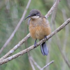 Acanthorhynchus tenuirostris (Eastern Spinebill) at Narrawallee Creek Nature Reserve - 14 Jan 2016 by Charles Dove
