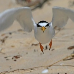 Sternula albifrons (Little Tern) at Cunjurong Point, NSW - 14 Jan 2016 by Charles Dove