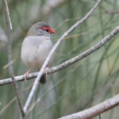 Neochmia temporalis (Red-browed Finch) at Narrawallee Creek Nature Reserve - 14 Jan 2016 by Charles Dove