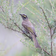 Caligavis chrysops (Yellow-faced Honeyeater) at Lake Conjola, NSW - 13 Jan 2016 by Charles Dove
