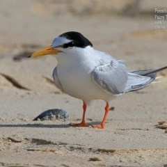 Sternula albifrons (Little Tern) at Cunjurong Point, NSW - 5 Jan 2016 by Charles Dove