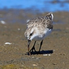 Calidris (Ereunetes) ruficollis (Red-necked Stint) at Jervis Bay National Park - 7 Jan 2016 by Charles Dove