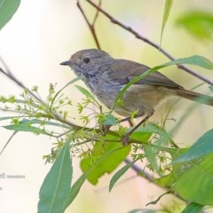 Acanthiza pusilla (Brown Thornbill) at Meroo National Park - 22 Feb 2016 by Charles Dove