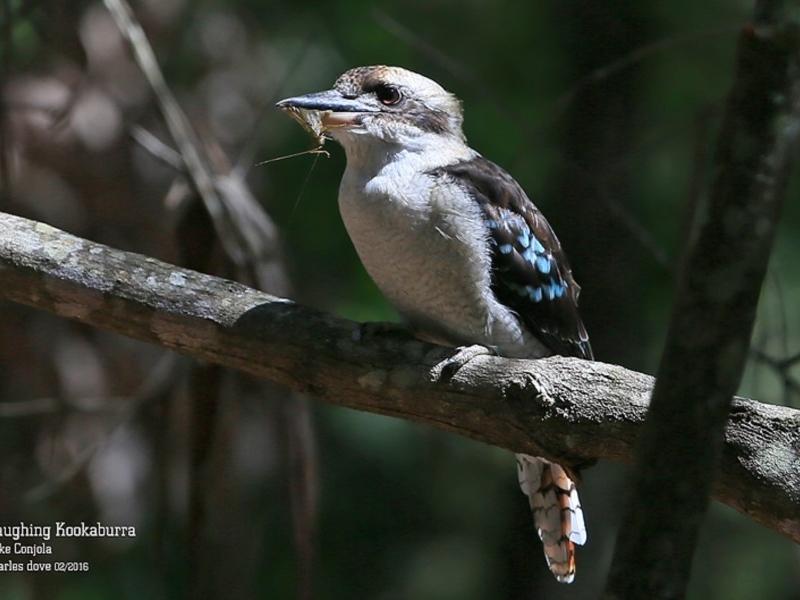 Dacelo novaeguineae at Conjola Bushcare - 26 Feb 2016