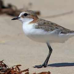 Charadrius ruficapillus (Red-capped Plover) at Cunjurong Point, NSW - 25 Feb 2016 by Charles Dove