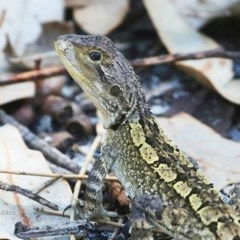 Amphibolurus muricatus (Jacky Lizard) at Conjola Bushcare - 25 Feb 2016 by Charles Dove