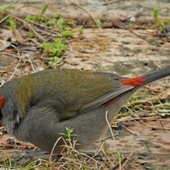 Neochmia temporalis (Red-browed Finch) at Brogo, NSW - 19 Jun 2018 by MaxCampbell