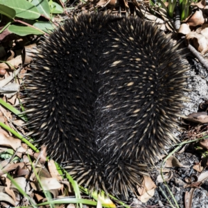 Tachyglossus aculeatus at Conjola Bushcare - 8 Feb 2018