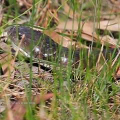 Notechis scutatus (Tiger Snake) at Morton National Park - 14 Dec 2016 by Charles Dove