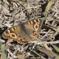 Junonia villida (Meadow Argus) at Giralang, ACT - 19 Jun 2018 by Alison Milton