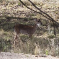 Dama dama (Fallow Deer) at Illilanga & Baroona - 12 Nov 2011 by Illilanga