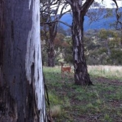 Dama dama (Fallow Deer) at Illilanga & Baroona - 6 Jan 2012 by Illilanga