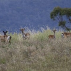 Dama dama (Fallow Deer) at Illilanga & Baroona - 2 Apr 2013 by Illilanga