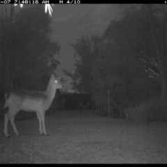 Dama dama (Fallow Deer) at Illilanga & Baroona - 6 Jul 2017 by Illilanga