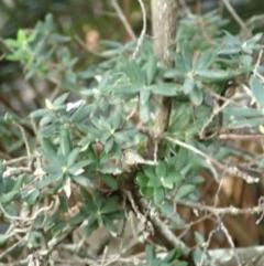 Monotoca elliptica (Tree Broom-heath) at Undefined - 20 Jun 2018 by Stewart