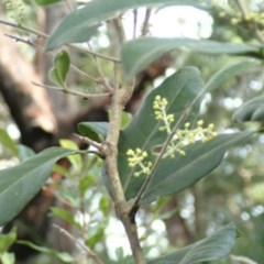Notelaea longifolia (Large Mock-olive, Large-leaved Olive) at Undefined - 20 Jun 2018 by Stewart