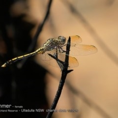 Orthetrum caledonicum (Blue Skimmer) at South Pacific Heathland Reserve - 6 Dec 2016 by Charles Dove