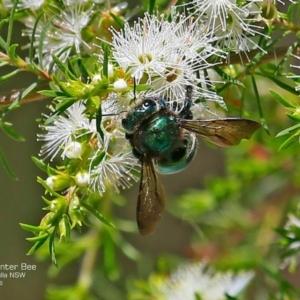 Xylocopa (Lestis) aeratus at Kings Point, NSW - 9 Dec 2016