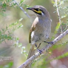 Caligavis chrysops (Yellow-faced Honeyeater) at South Pacific Heathland Reserve - 5 Dec 2016 by Charles Dove