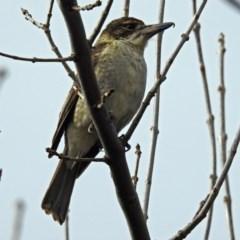 Cracticus torquatus (Grey Butcherbird) at Molonglo Valley, ACT - 18 Jun 2018 by RodDeb