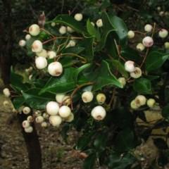 Syzygium smithii (Lilly Pilly) at Murramarang National Park - 19 Jun 2018 by JackieMiles