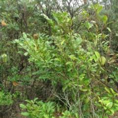 Diospyros australis (Black Plum) at Murramarang National Park - 19 Jun 2018 by JackieMiles
