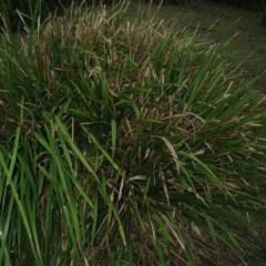 Lomandra longifolia (Spinyhead Matrush) at Murramarang National Park - 19 Jun 2018 by JackieMiles