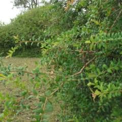 Melaleuca hypericifolia (Hillock Bush) at Murramarang National Park - 19 Jun 2018 by JackieMiles