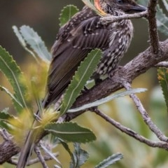 Anthochaera chrysoptera (Little Wattlebird) at FS Private Property - 12 Dec 2017 by Stewart