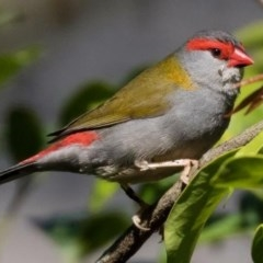 Neochmia temporalis (Red-browed Finch) at FS Private Property - 9 Nov 2017 by Stewart