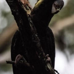 Calyptorhynchus funereus (Yellow-tailed Black-cockatoo) at FS Private Property - 22 May 2018 by Stewart