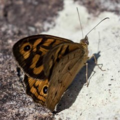 Heteronympha merope (Common Brown) at FS Private Property - 8 Nov 2017 by Stewart