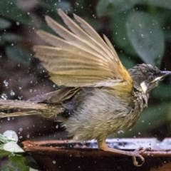 Meliphaga lewinii (Lewin's Honeyeater) at FS Private Property - 8 Nov 2017 by Stewart