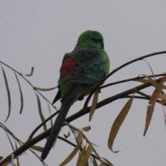 Psephotus haematonotus (Red-rumped Parrot) at Jerrabomberra Wetlands - 28 May 2018 by michaelb