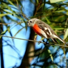 Petroica boodang (Scarlet Robin) at Brogo, NSW - 21 Jun 2018 by MaxCampbell